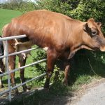 cow stuck on fence